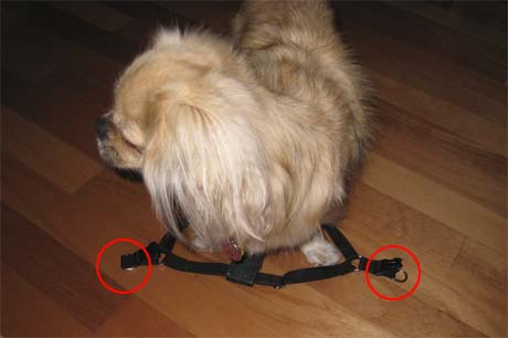 Put harness on Tibbie